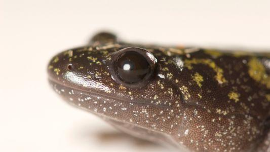 Conheça os anfíbios que mudam de forma e tornam-se canibais no estágio larval