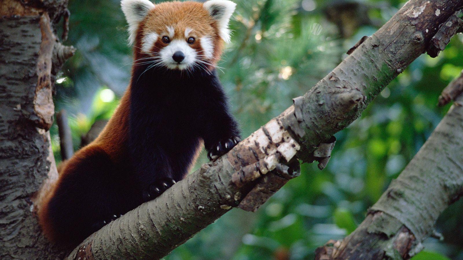 Pandas-vermelhos representam 31 milhões de anos de história evolucionária única, que agora está ameaçada.