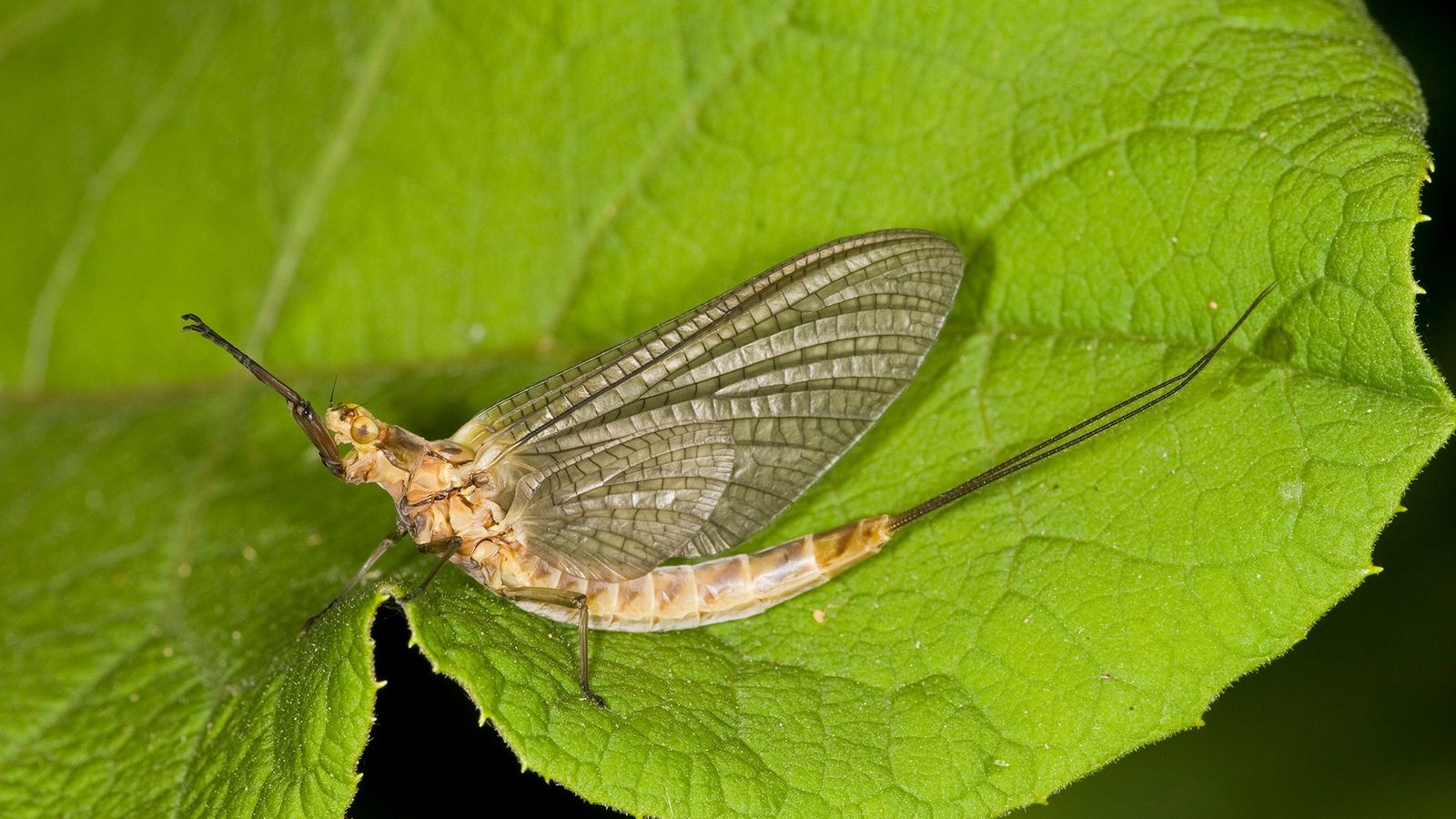 Uma efemérida cavadora (Hexagenia limbata), emergida recentemente em uma folha em Minnesota, nos EUA. As populações ...