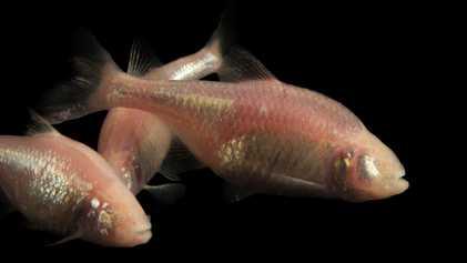 Peixe-cego de cavernas pode ser o segredo para tratar diabetes