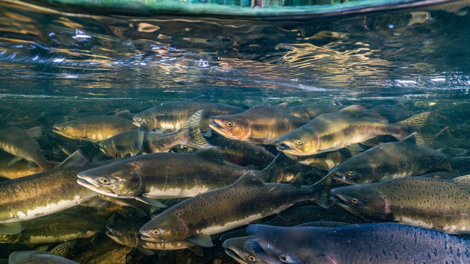 Assim como diversos peixes migratórios, o salmão-rei está ameaçado pela pesca predatória, degradação do habitat e ...