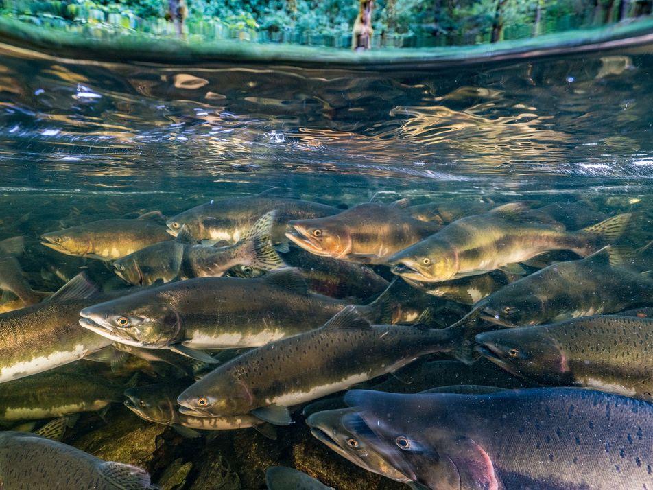 Peixes de água doce sofreram declínio de 76% em menos de 50 anos