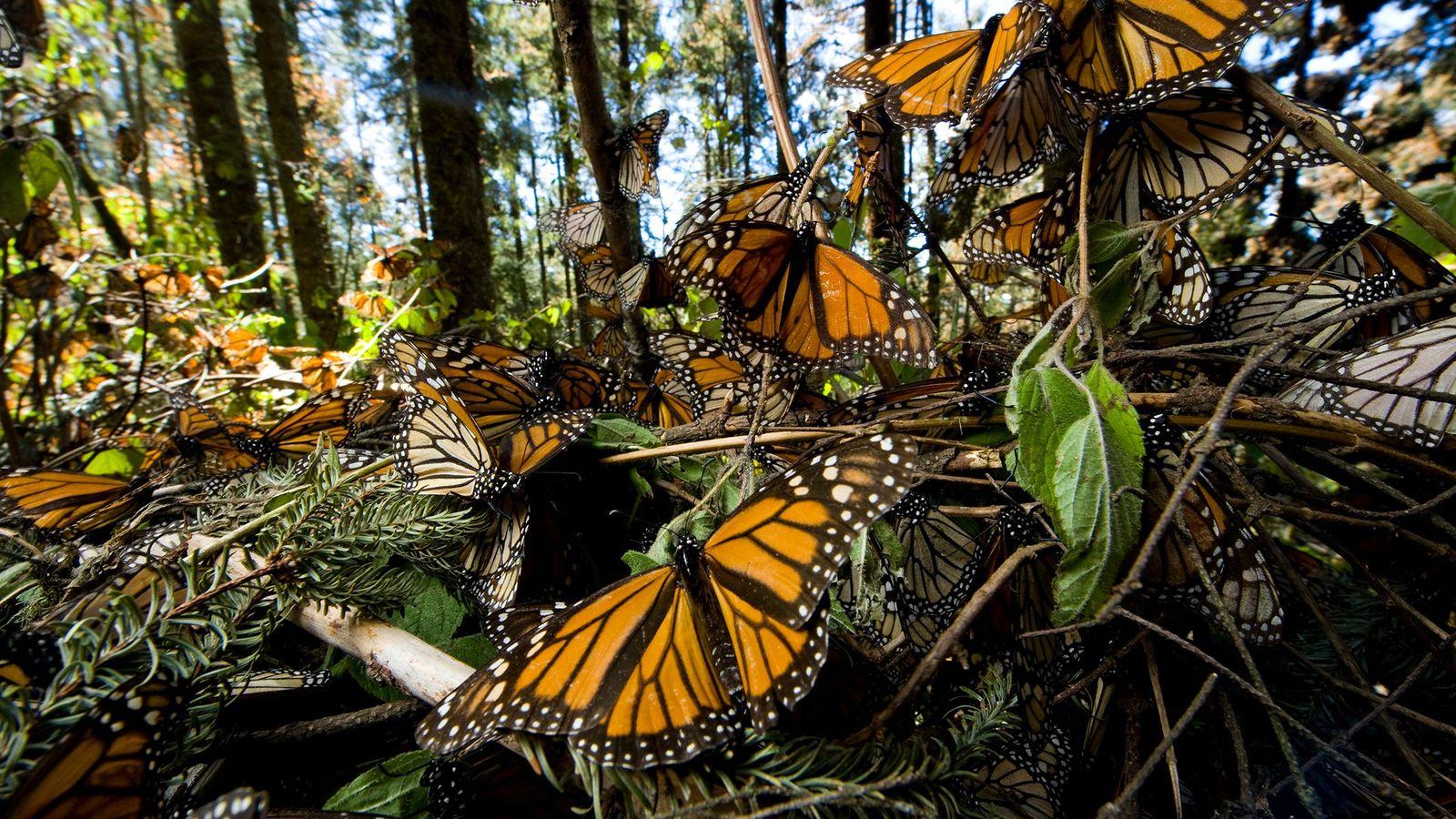 Novo estudo constatou que as asas das monarcas estão ficando maiores, possivelmente porque as mudanças climáticas ...