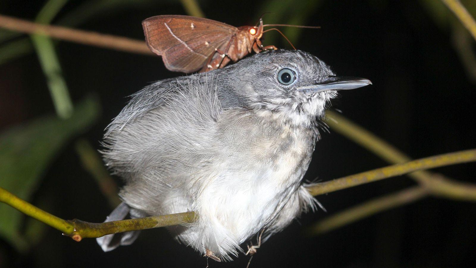 Biólogo avistou esta mariposa (Gorgone macarea) no pescoço de um solta-asa-do-norte no Brasil, com sua longa ...