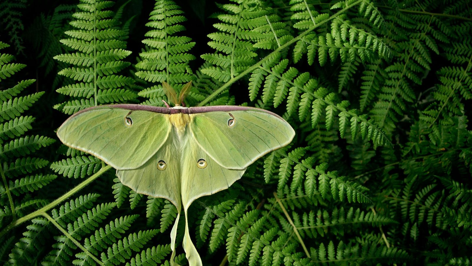 Uma mariposa da lua, Actias luna, mostra suas asas gigantes em uma samambaia na Carolina do ...