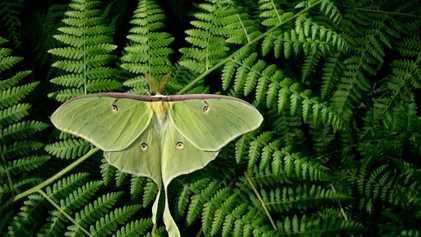 Como as asas longas ajudam mariposas a fugirem de ataques de morcegos