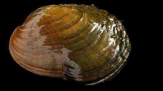 O mexilhão da espécie Epioblasma capsaeformis é uma espécie em risco de extinção nativa do Rio ...