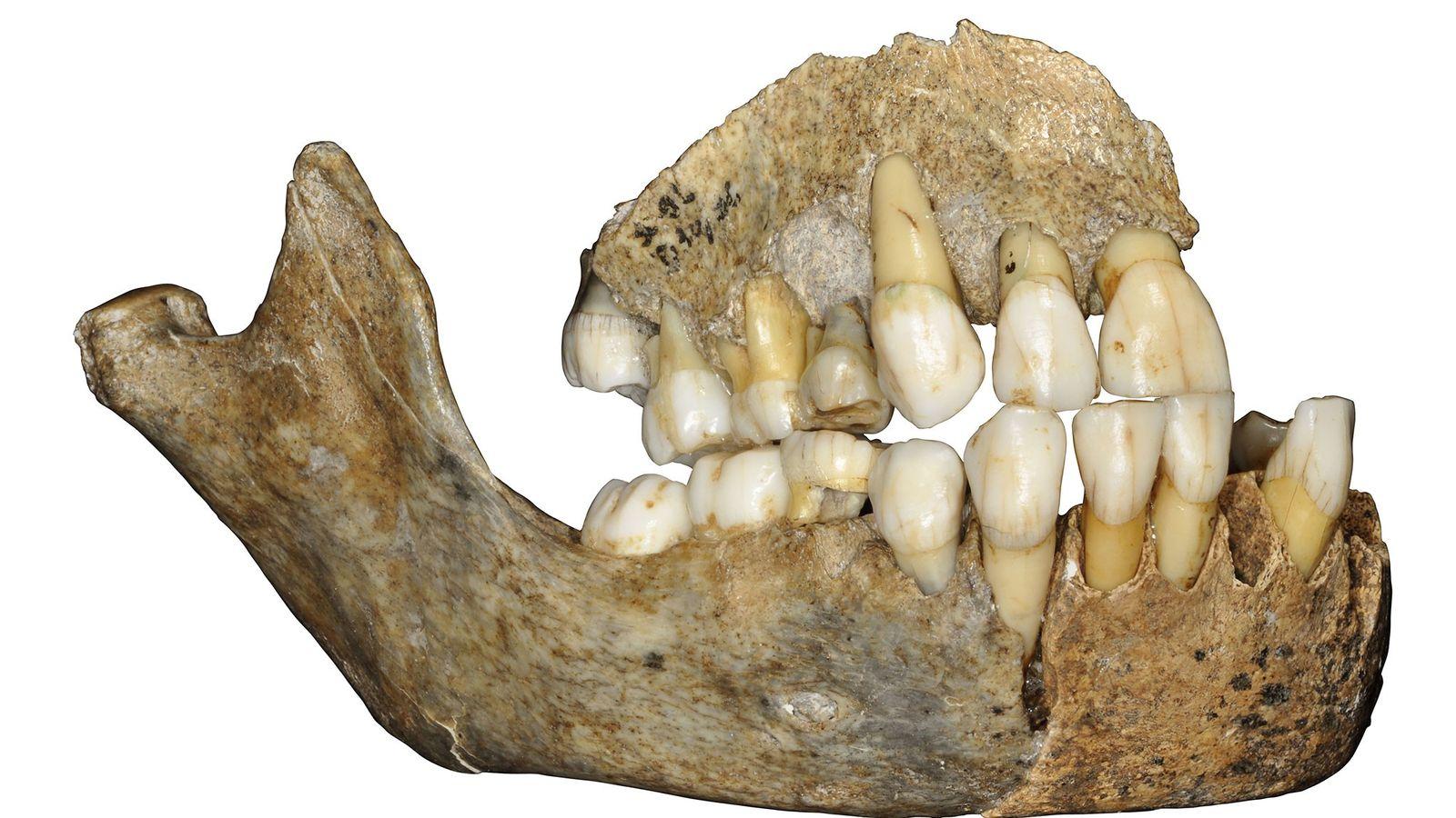O DNA extraído do maxilar deste neandertal encontrado na Bélgica revelou novas informações da época em ...