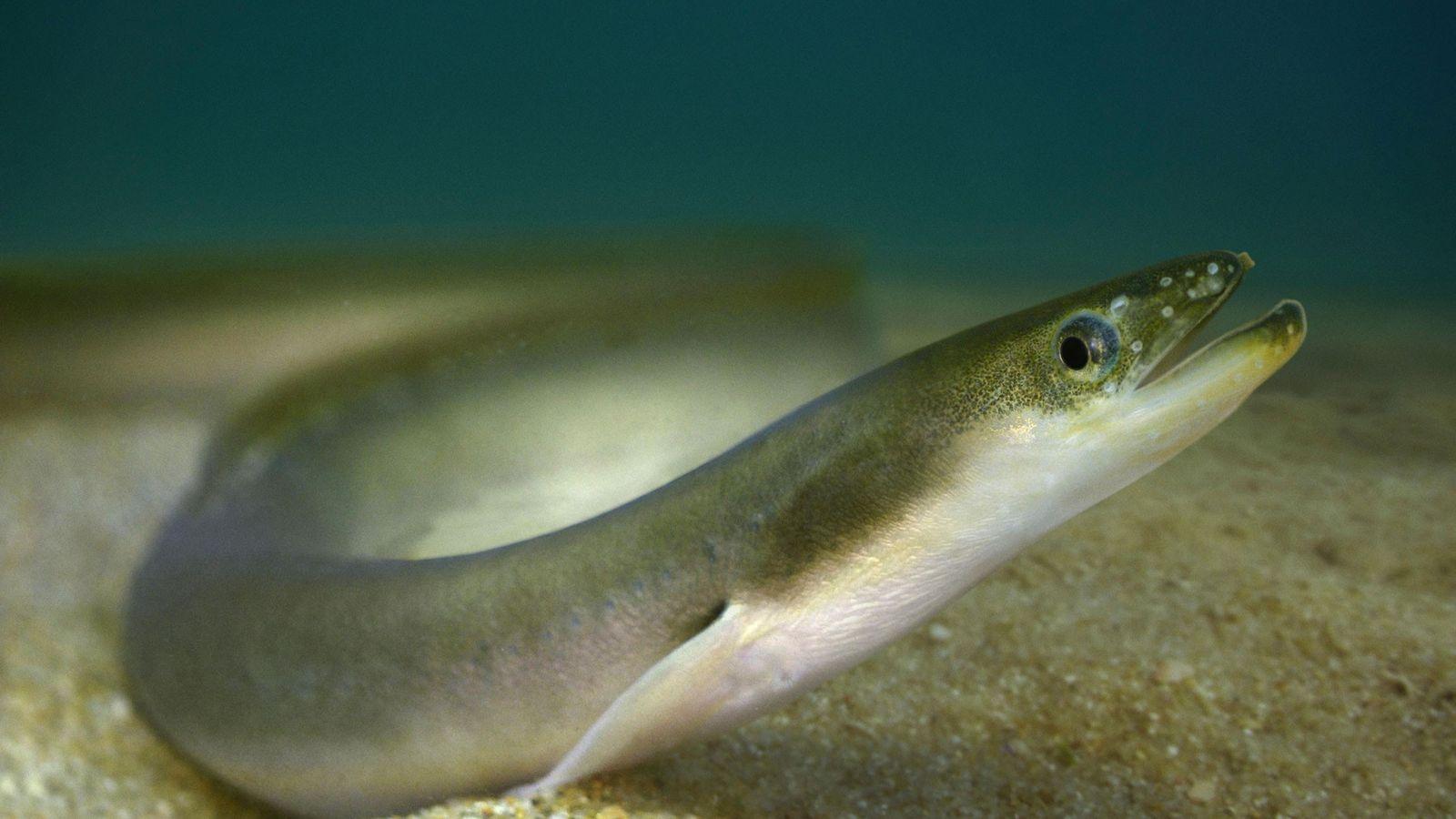 As populações de enguias japonesas (Anguilla japonica) e do peixe da família Osmeridae diminuíram expressivamente após ...