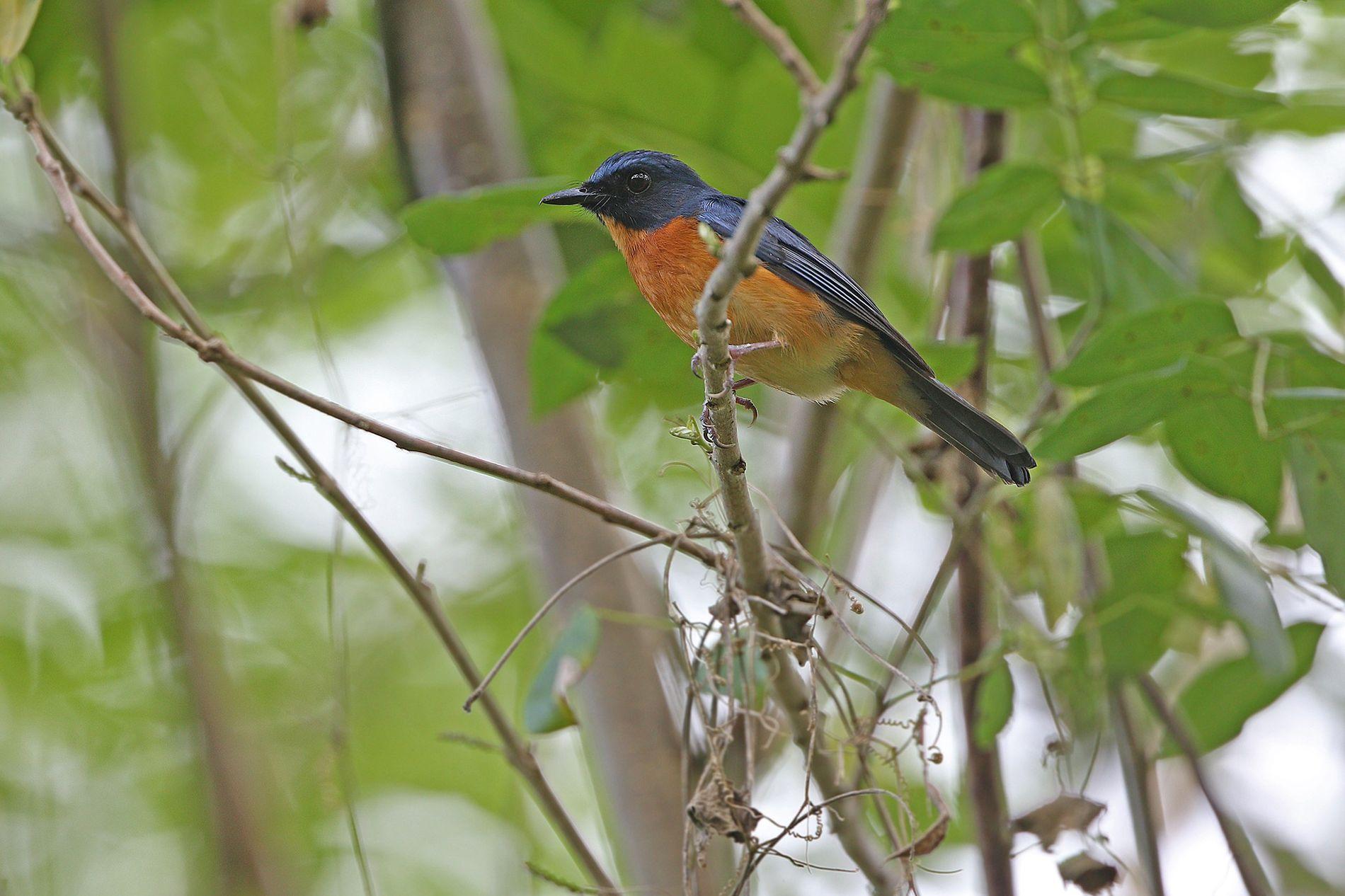 O papa-moscas-da-selva de Togian é uma nova subespécie de pássaro encontrada em Batudaka, uma das ilhas ...