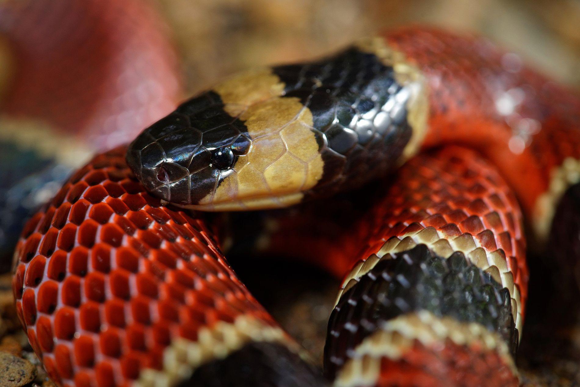 A cobra-coral da América Central (Micrurus nigrocinctus) normalmente se alimenta de outras serpentes menores, incluindo a ...