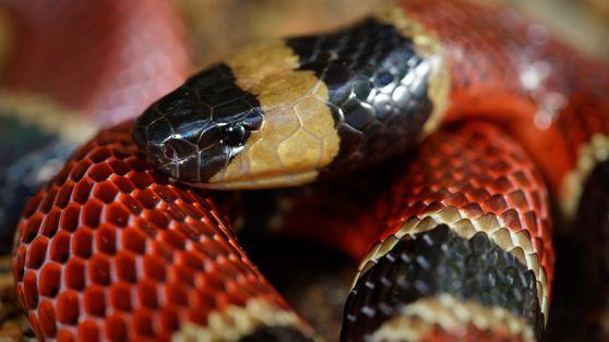Nova espécie de cobra descoberta no estômago de outra serpente