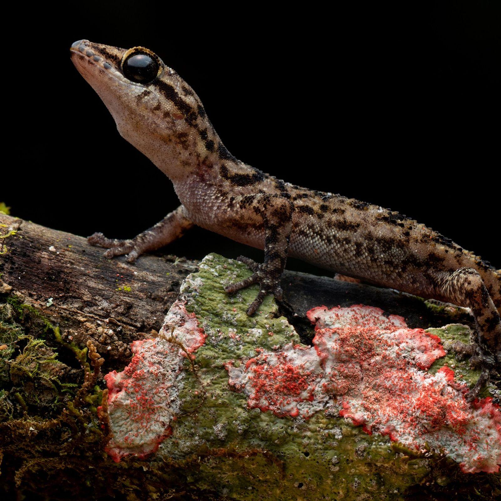 O habitat total da espécie Phyllodactylus andysabini está restrito a uma área de menos de 258 ...