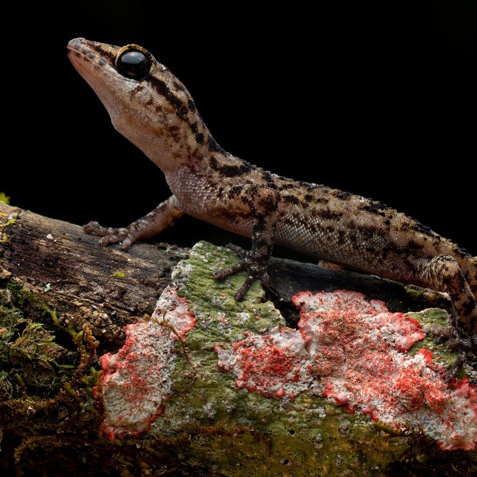 Lagartixas com 'pés de folha' encontradas vivendo em vulcão remoto