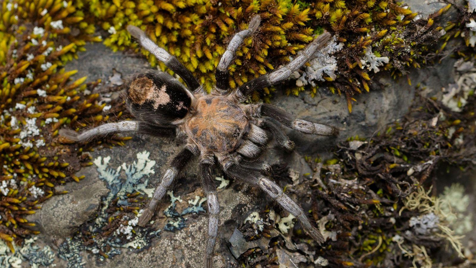 Sete novas espécies de tarântulas foram descobertas no gênero Hapalotremus. Na foto, as Hapalotremus albipes identificadas ...
