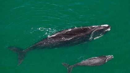 Baleias ameaçadas estão assustadoramente magras e preocupam estudiosos