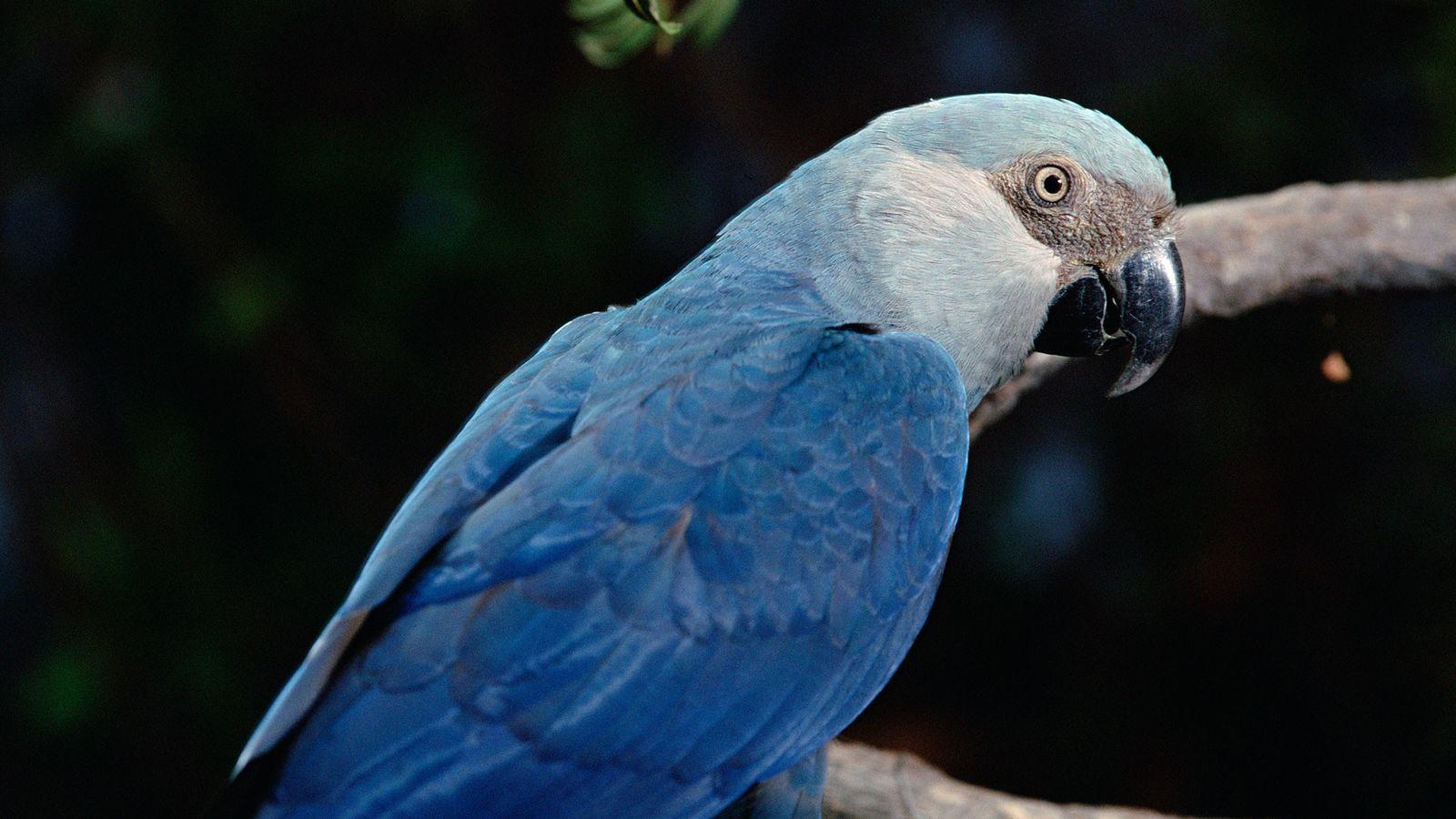 A ararinha-azul pode estar extinta na natureza, de acordo com um novo estudo da BirdLife International.
