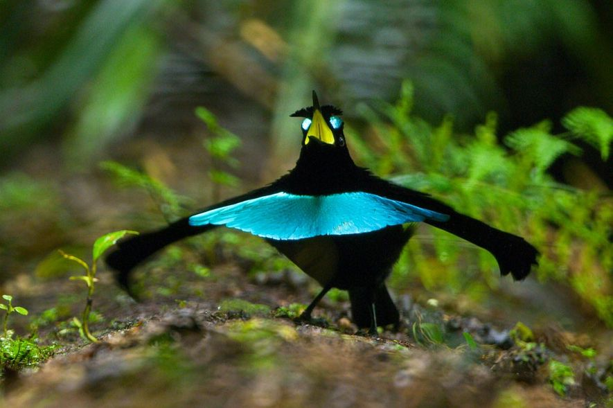A ave-do-paraíso soberba vogelkop se prepara para começar a dança de acasalamento.
