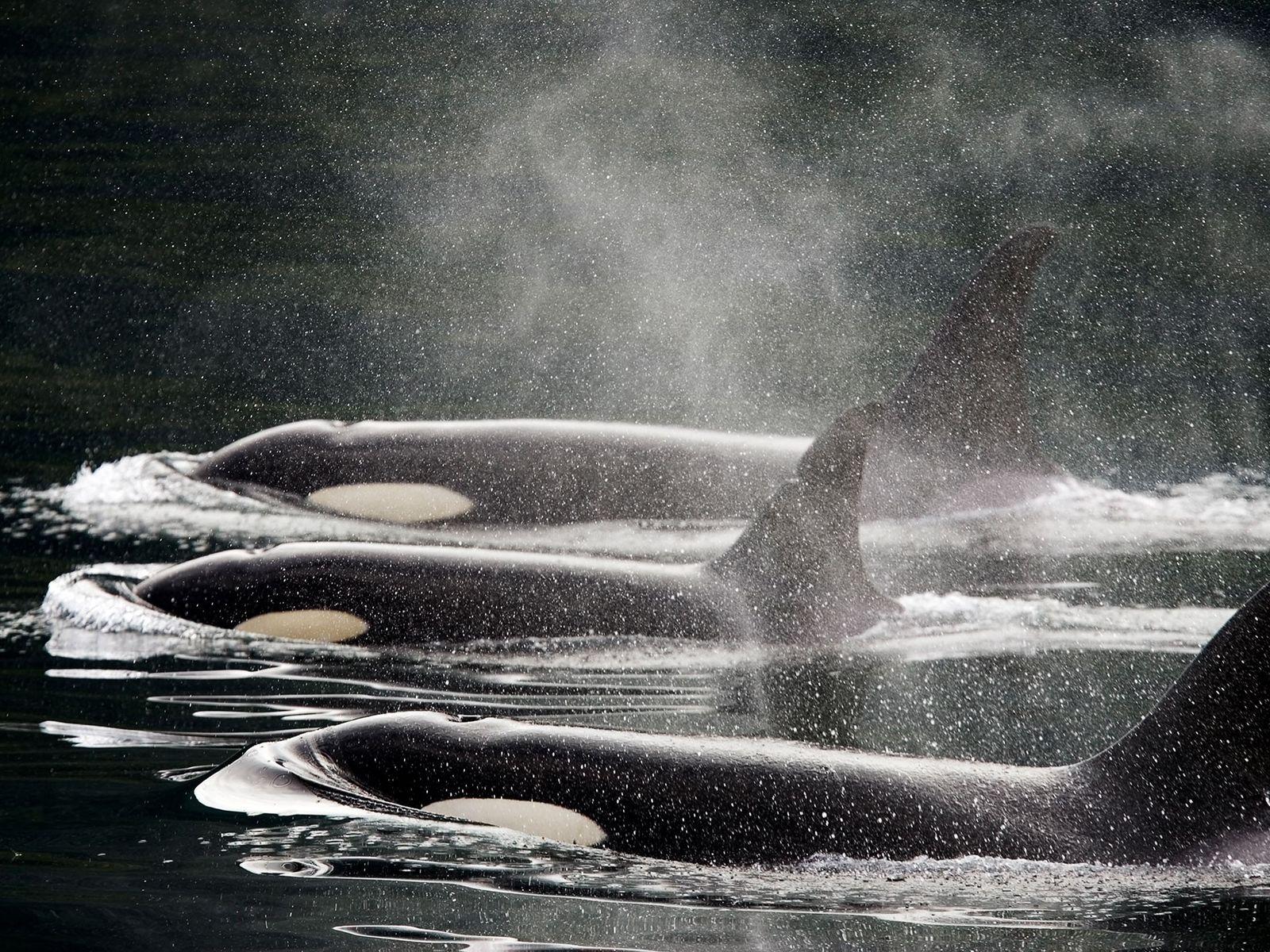 Três orcas nadam lado a lado: ao longo dos anos, as orcas foram odiadas pelos pescadores, ...