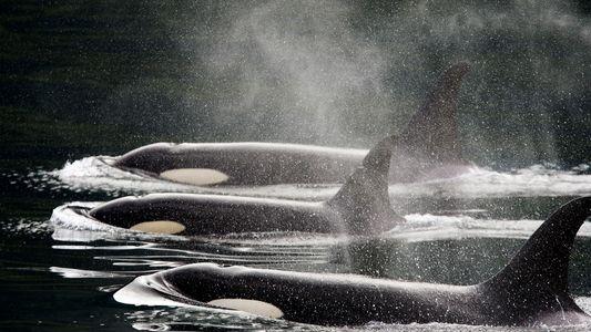 Como as orcas passaram de odiadas a amadas, e agora estão ameaçadas de extinção