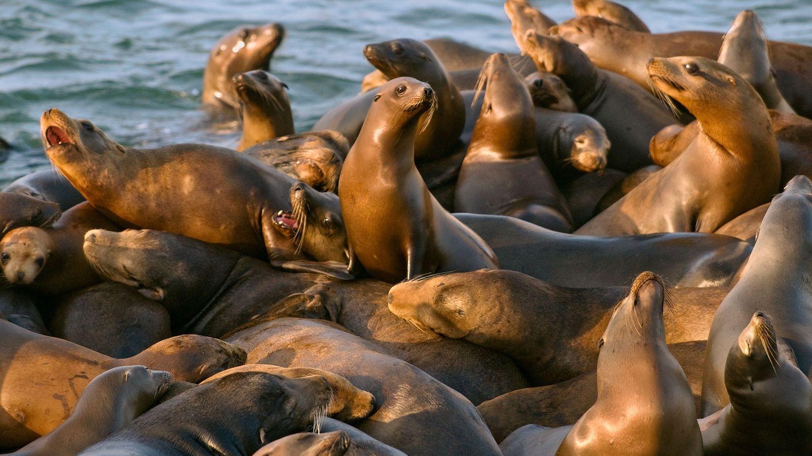 Um grupo de leões-marinhos da Califórnia se arrasta para fora de uma doca no porto de ...