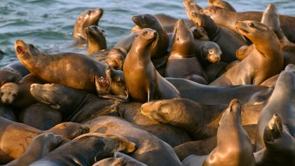 Leões-marinhos continuam sendo alvejados por pescadores nos EUA