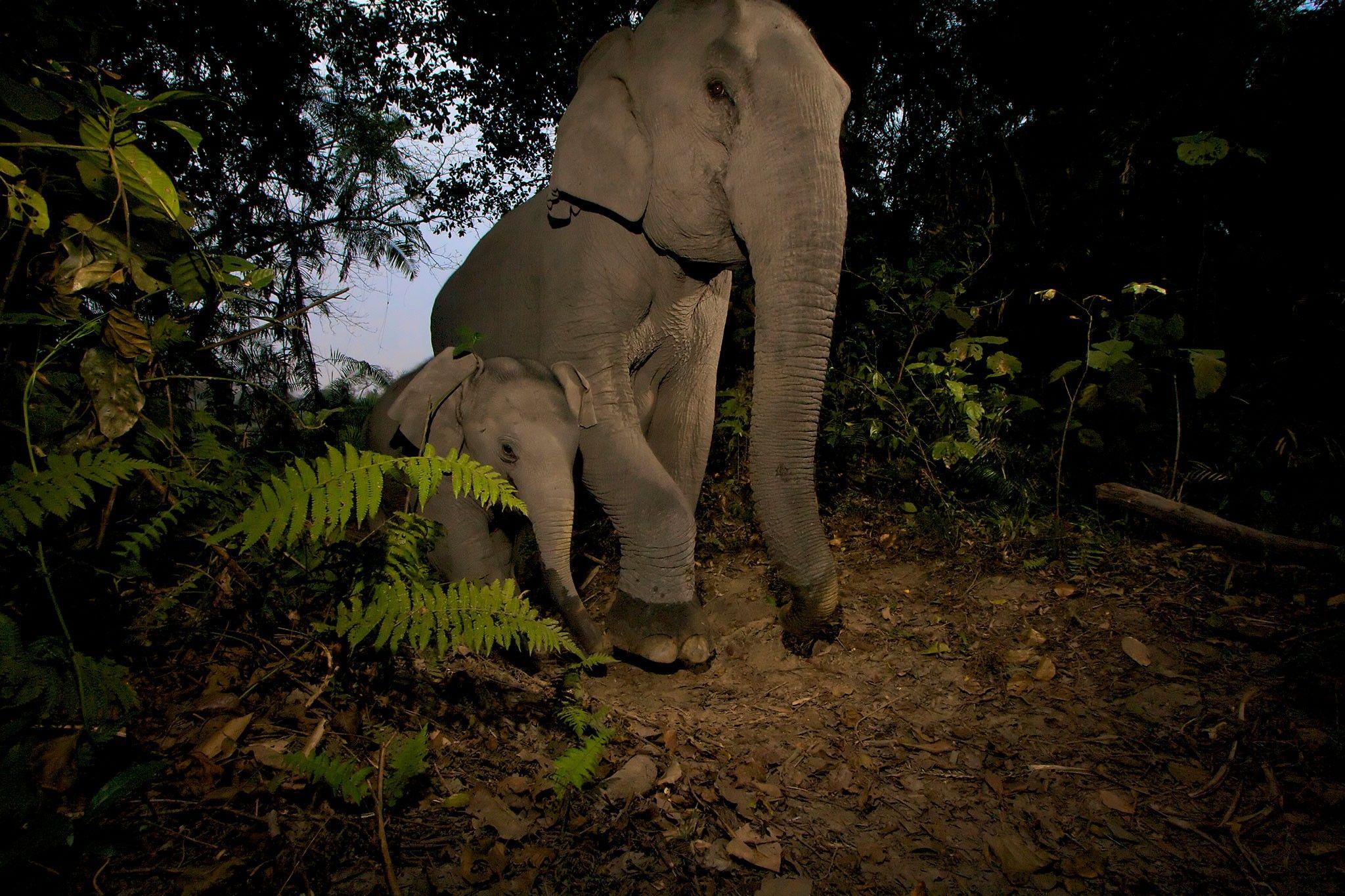 Filhotes de elefantes asiáticos estão sendo aleijados por armadilhas | National Geographic