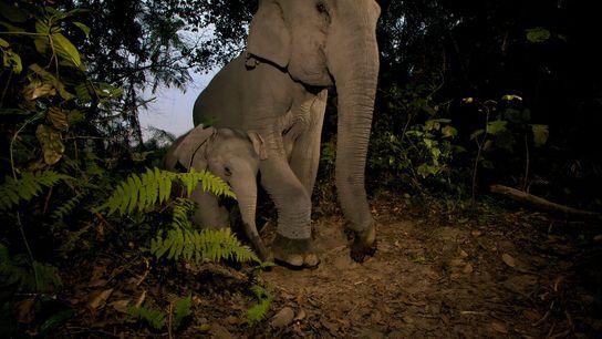 Armadilhas de arame estão ferindo filhotes de elefantes asiáticos nas Montanhas Cardamomo no Camboja, revela um ...