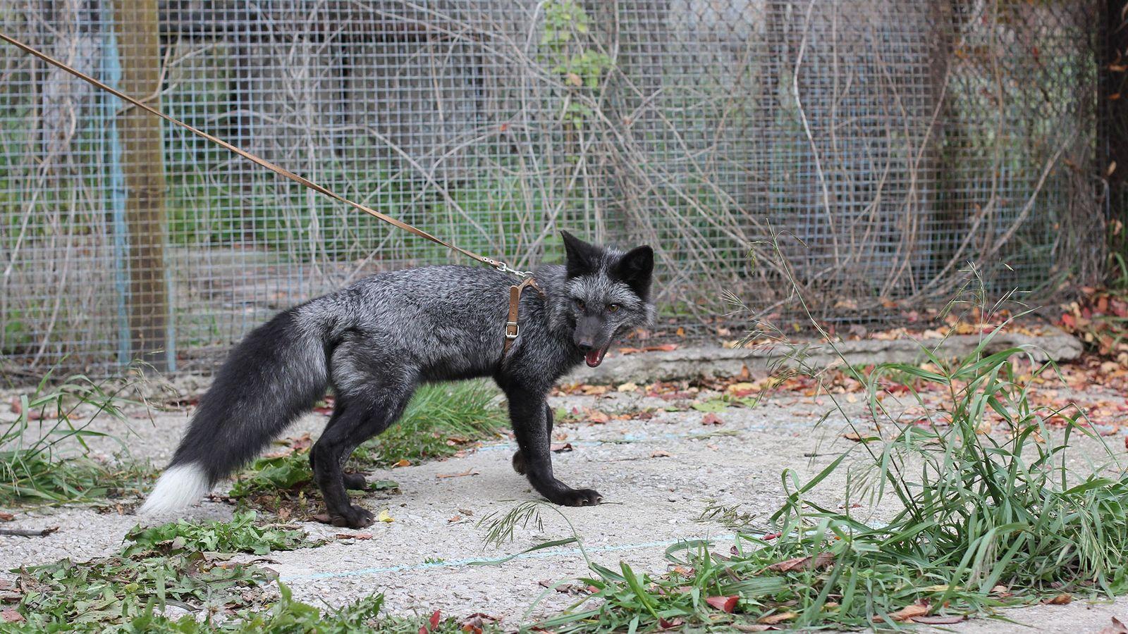 Raposas-prateadas são criadas na Rússia desde 1959 para serem dóceis ou agressivas. O experimento selecionou determinados ...