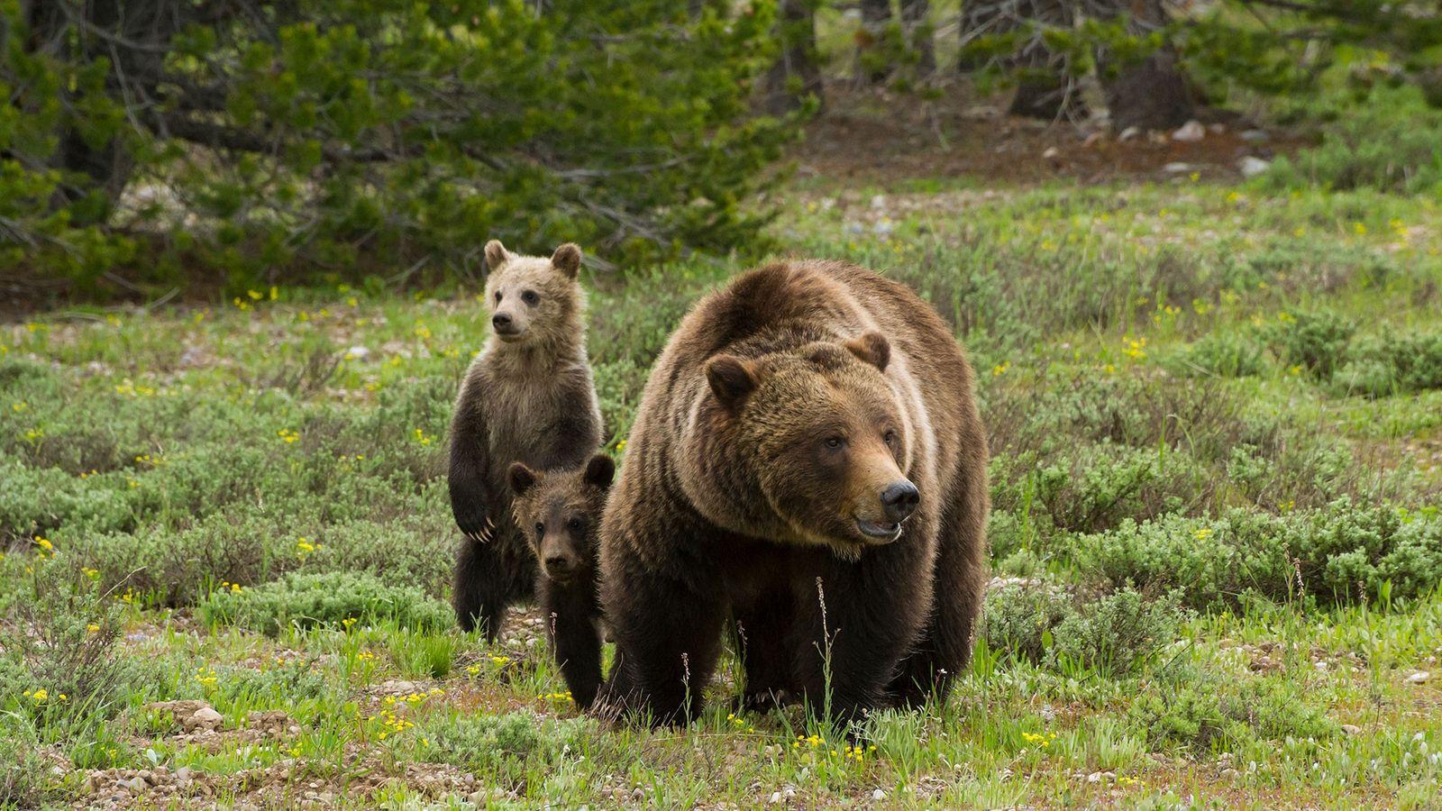 A ursa-parda 399 investiga um prado coberto de sálvia do deserto em busca de possíveis perigos ...