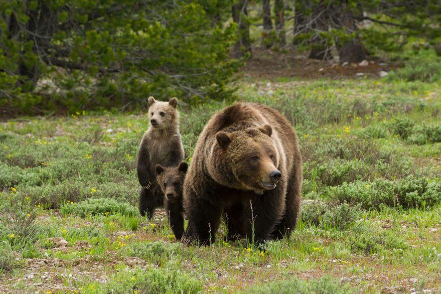 A ursa-parda 399 investiga um prado coberto de sálvia do deserto em busca de possíveis perigos …