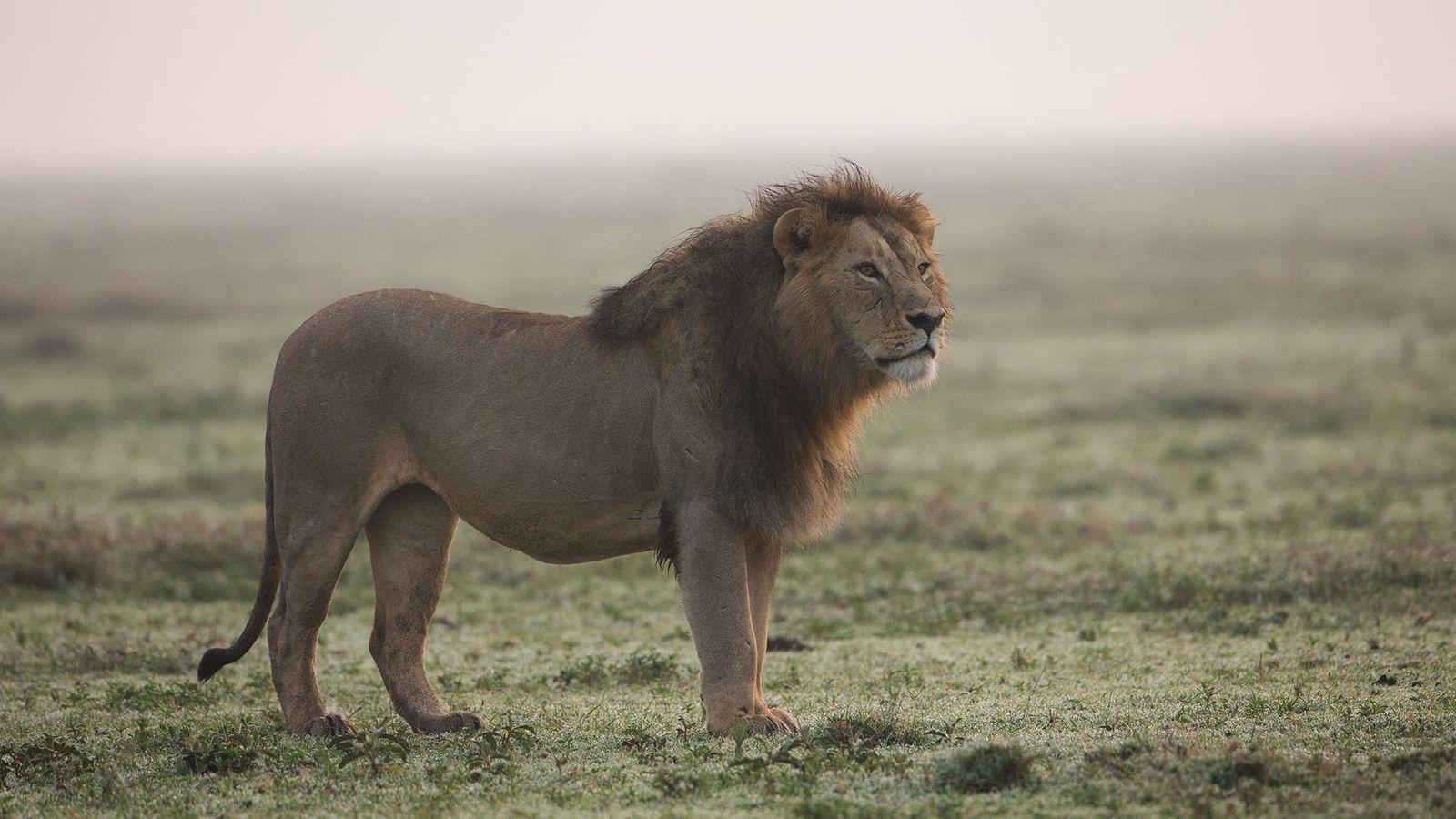Leões africanos estão cada vez mais sendo mortos por seus dentes e garras, provavelmente sendo transformados ...