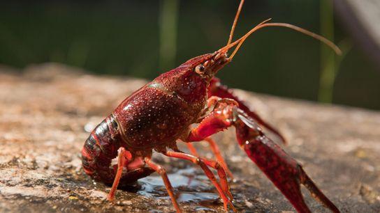 O prolífico lagostim-vermelho (Procambarus clarkii), nativo do sudoeste dos EUA, invadiu ecossistemas de águas doces no ...
