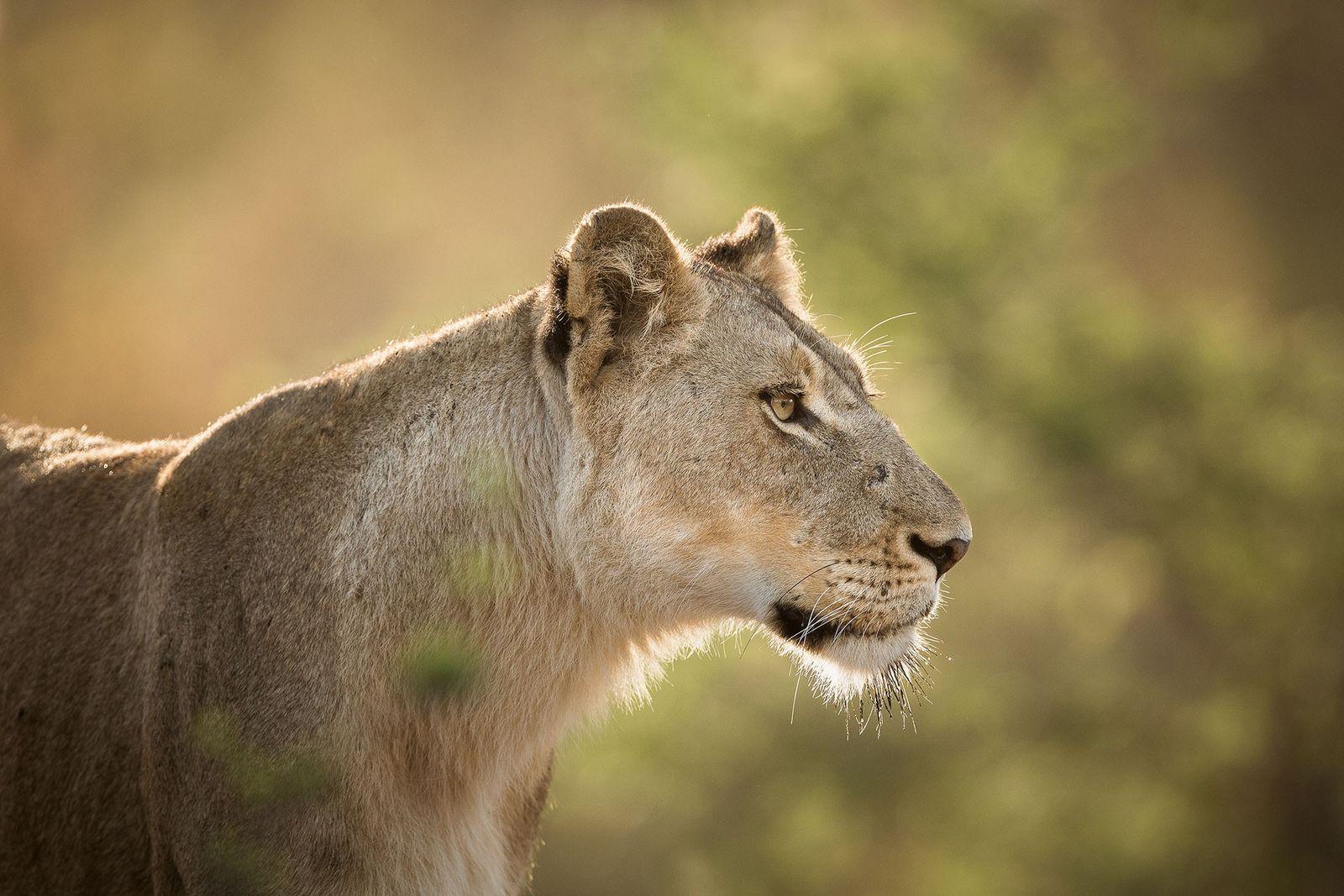 África do Sul pode exportar legalmente 1,5 mil esqueletos de leão por ano, em controversa decisão