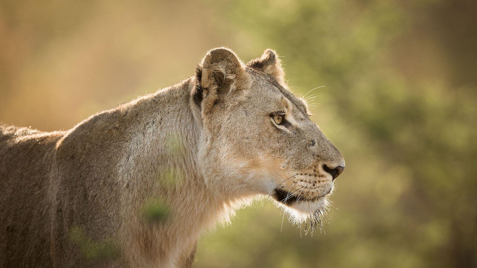 Ameaça aos leões está aumentando devido à crescente demanda por ossos, dentes, patas e outras partes ...