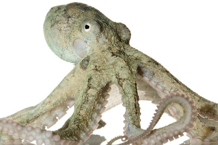 O polvo-da-Califórnia envolvido no estudo (não este) se comportou semelhantemente a humanos que usam Ecstasy.