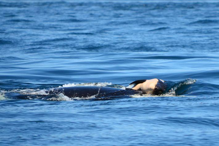 Uma orca conhecida por J35, carrega seu filhote morto no Noroeste dos Estados Unidos. Especialistas dizem ...