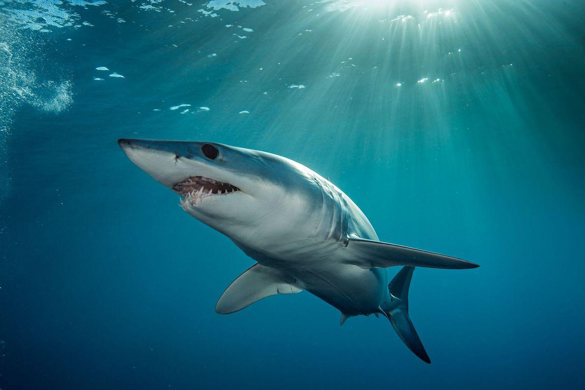 Tubarão-mako: O tubarão-mako é o tubarão mais rápido dos sete mares. Em pequenos tiros, o mako ...