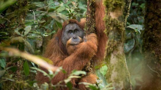 O orangotango Tapanuli de Sumatra é uma nova espécie dos grandes primatas que foi identificada em ...