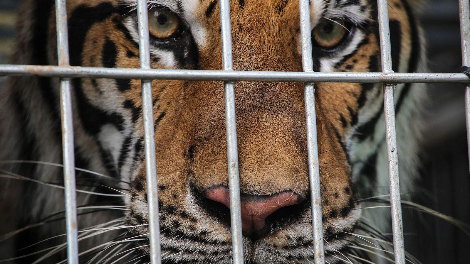 Há menos de quatro mil tigres na natureza, enquanto a quantidade em cativeiro na Ásia chega ...