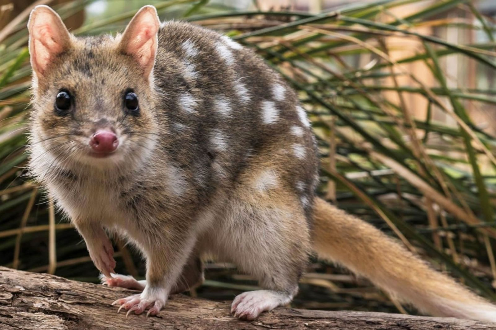 Os quolls-orientais foram extintos da Austrália, mas sobreviveram na Tasmânia e hoje, pesquisadores estão tentando reintroduzi-los ...