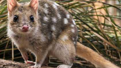 Conheça o adorável marsupial australiano que quase foi extinto