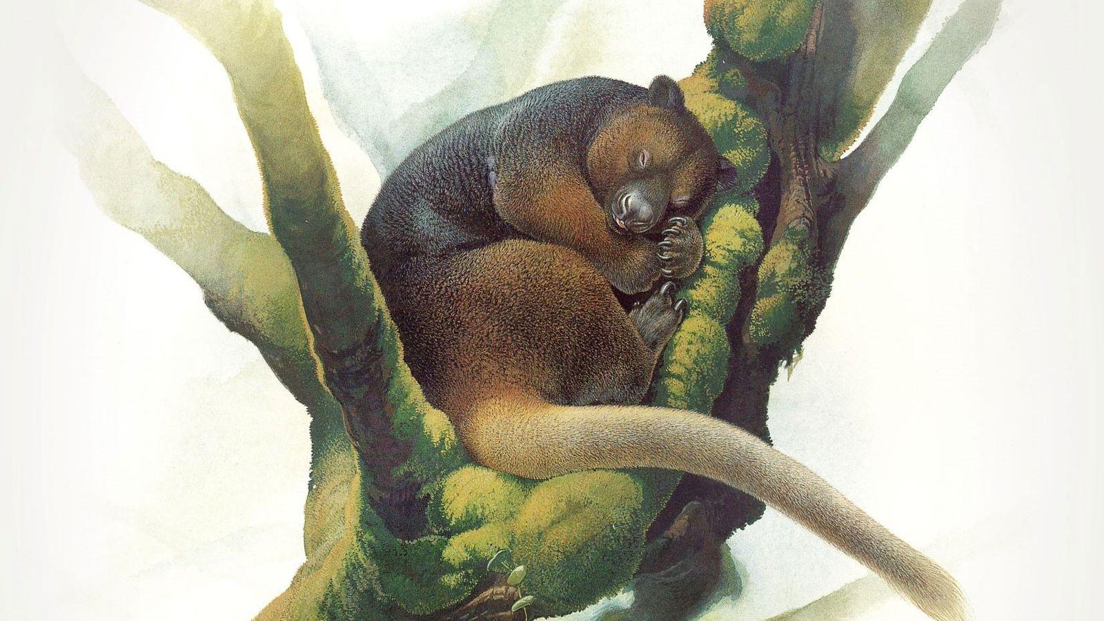 O super raro canguru-arborícola Wondiwoi foi observado por cientistas pela última vez em 1928, e pesquisadores ...