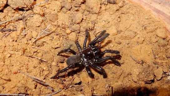 Número 16, a aranha-de-alçapão recentemente morta na Austrália.