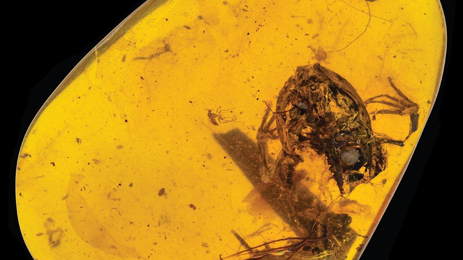 Esse pedaço de âmbar do Myanmar tem uma pequena rã que viveu com os dinossauros.