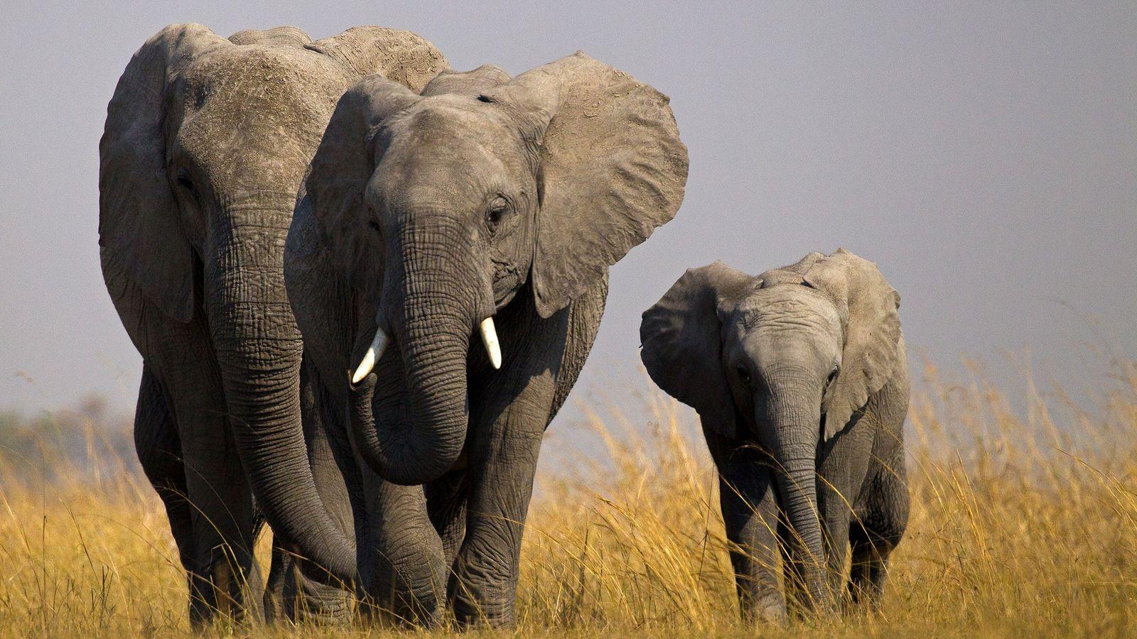 A forma como as elefantas órfãs se adaptam a não terem mães pode ter consequências sobre ...