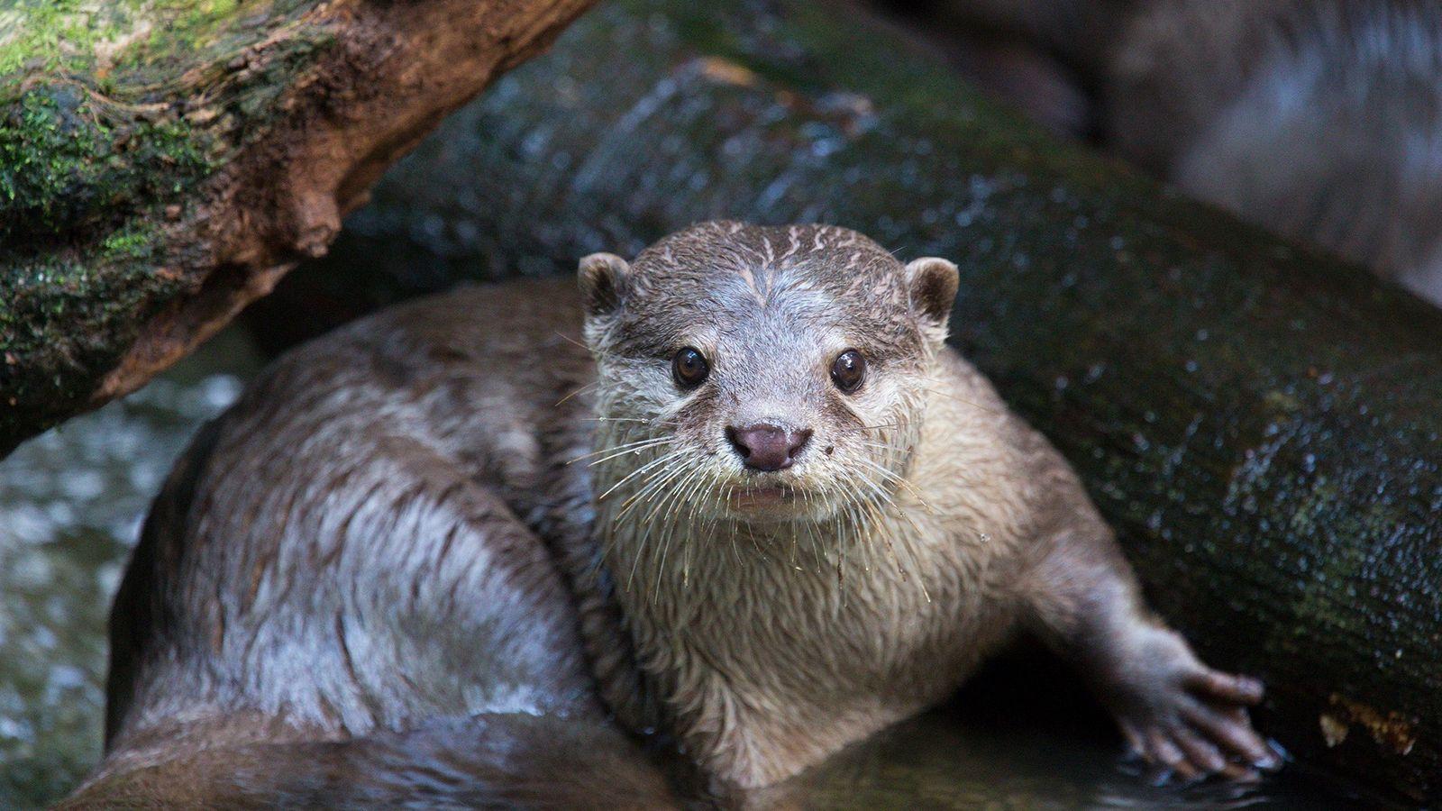 A lontra-asiática-de-garras-pequenas se tornou um animal de estimação famoso no sudeste asiático. Pessoas na Indonésia, Tailândia, ...