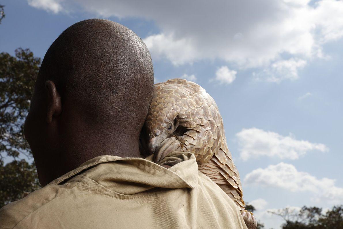 Um pangolim resgatado de caçadores olha sobre o ombro do cuidador em um rancho de propriedade ...