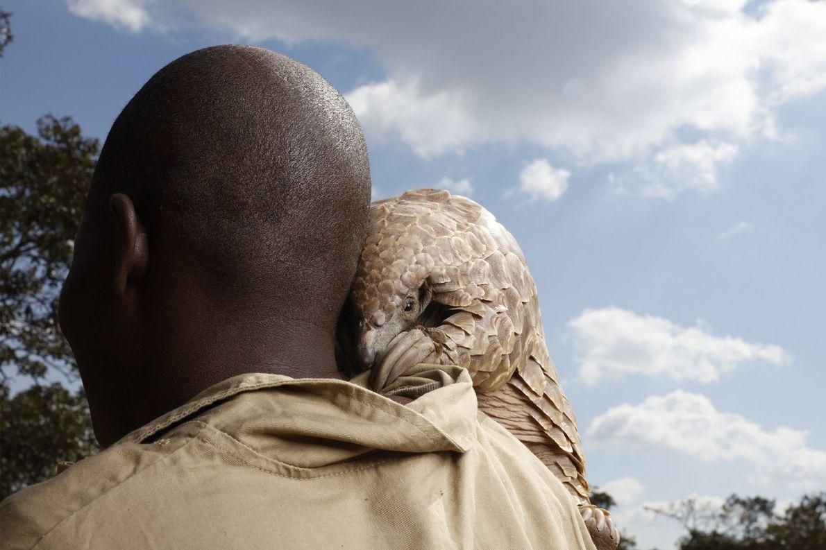 Um pangolim resgatado de caçadores olha sobre o ombro do cuidador em um rancho de propriedade …