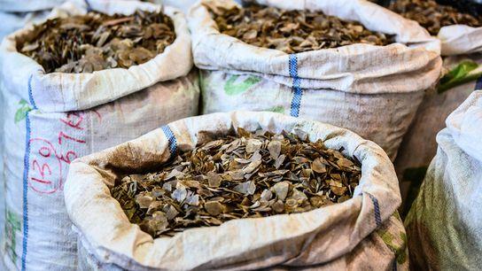 Esses sacos representam uma pequena parcela das remessas ilegais de nove toneladas de escamas de pangolim ...